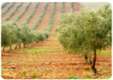 adopt an organic olive oil tree ($60)